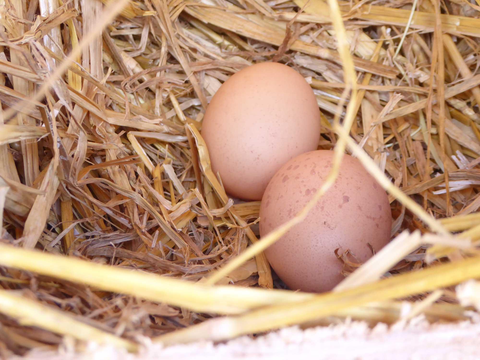 Frische Eier von hauseigenen Hühnern