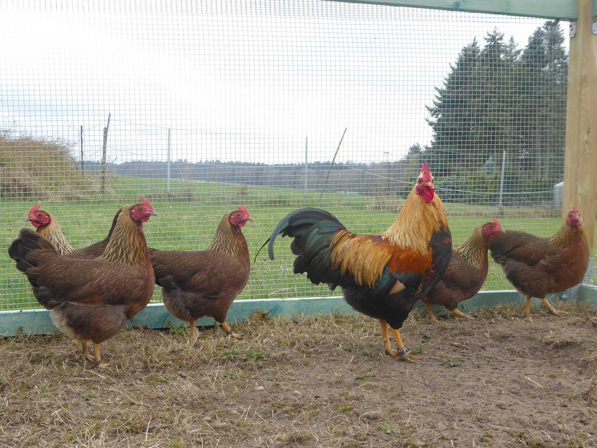 Hauseigene Hühnerschar im Garten