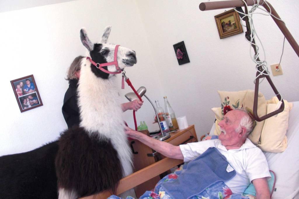 Krankenbesuch von Lamas im Alten- und Pflegeheim Hösseringen